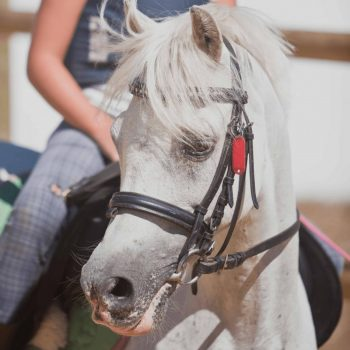 He is a typical Welsh pony like the ones found in horse breed books. Chuche  is very intelligent and as an adult pony, knows exactly how to interpret  the rider. He also has three good quality gaits and gives you the feeing that your riding a big horse !
