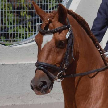 A German pony that has experience competing at national level and has also participated in the Spanish Dressage Championship for Young Riders several times obtaining very good results. He has a very good character and easily adapts to the level of the rider.